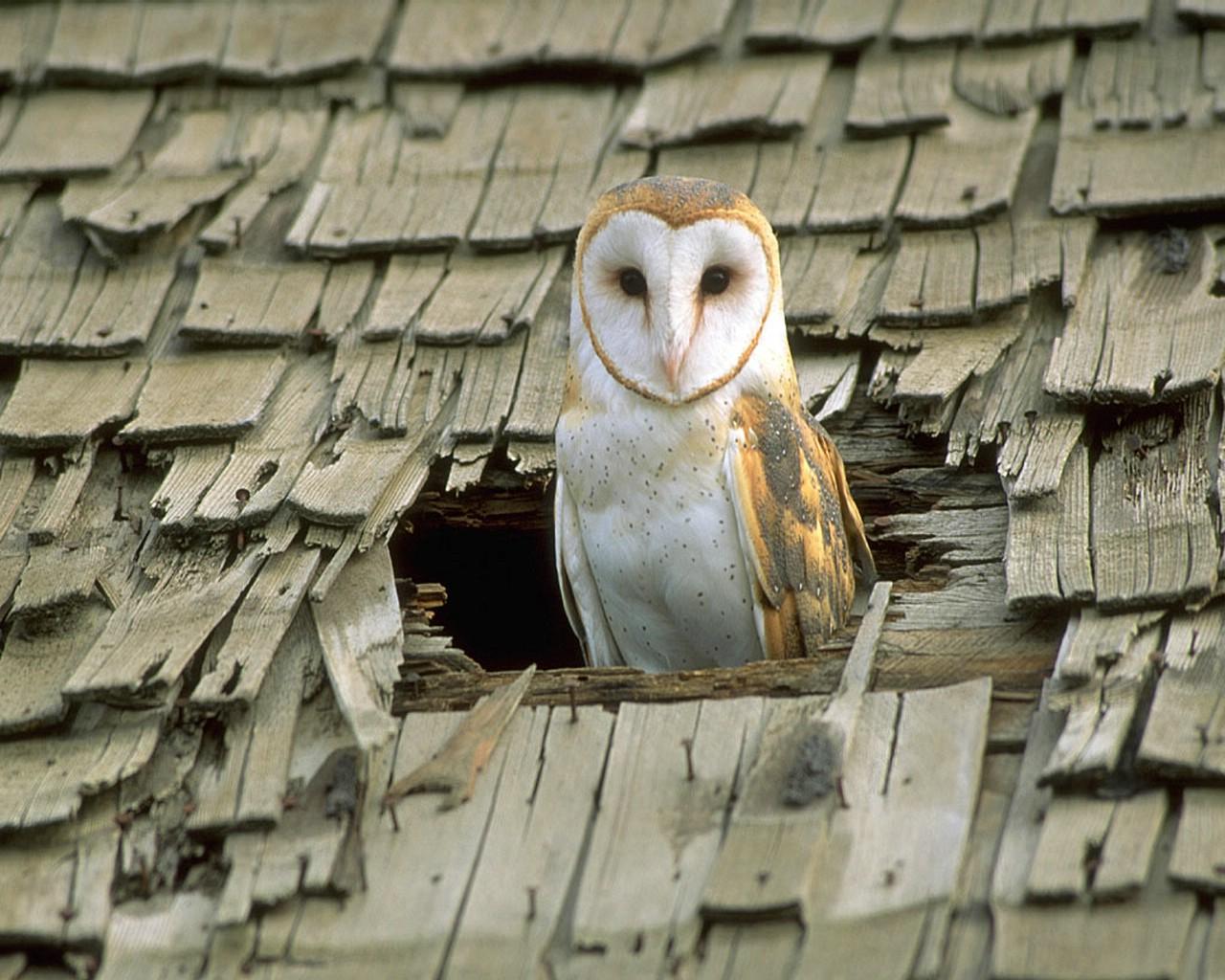 barn owls in a barn - photo #39
